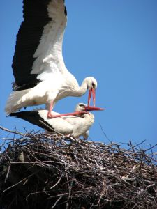 ouple-stork-773274-m